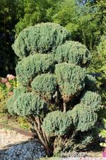 Juniperus chinensis stricta 2016