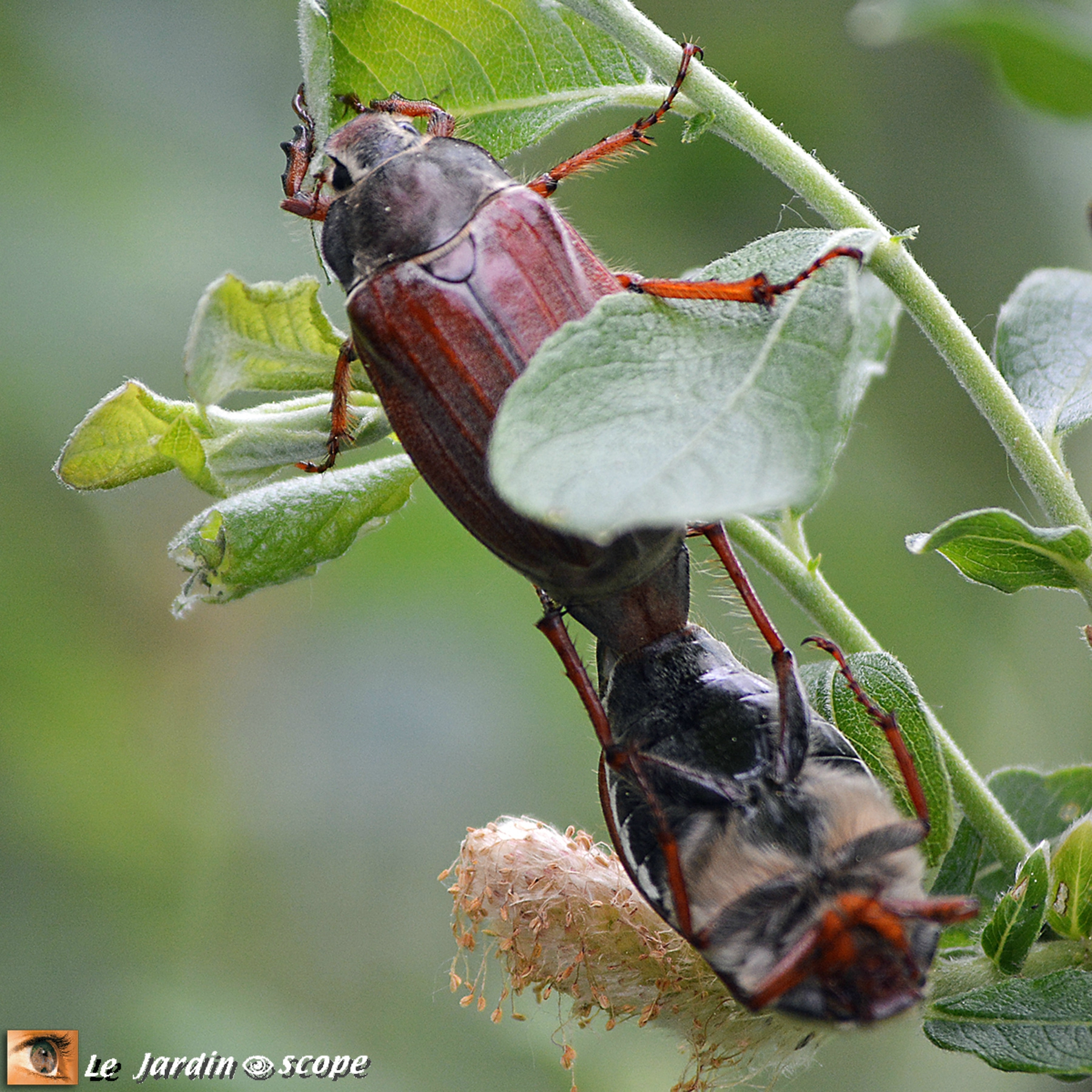 Hannetons communs • Melolontha melolontha (in-copula)