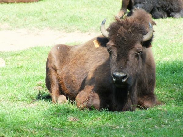 25 Rêve de Bisons Muchedent