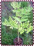 Moringa oleifera- (Katkan)