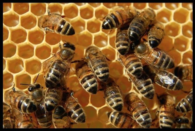 abeilles 03