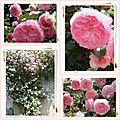 Roses du jardin Pierre de Ronsard