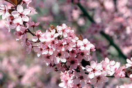 fleurs_d_arbres