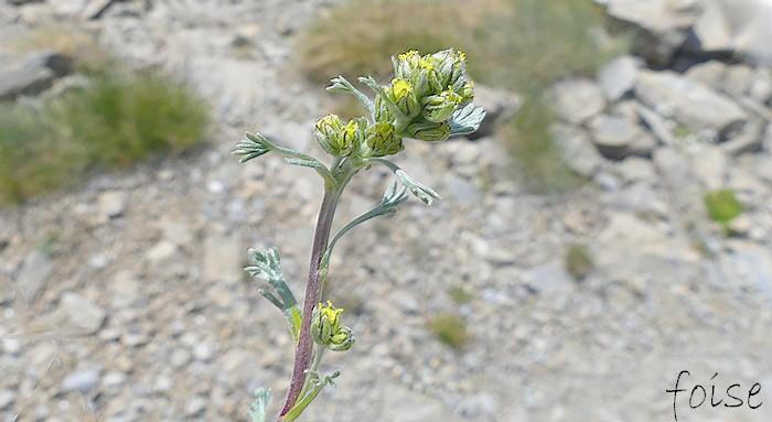 Artemisia umbelliformis ww