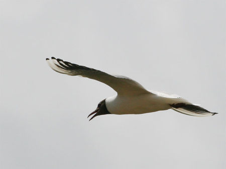 mouette_rieuse_crie