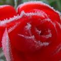 roses givrées