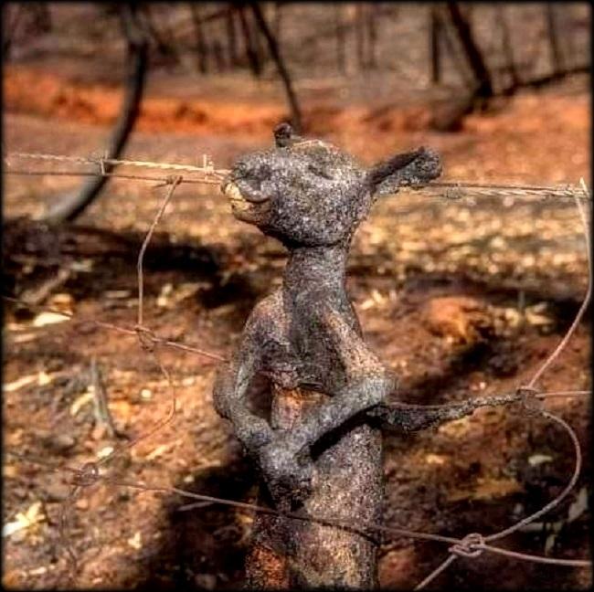 kangourou2_