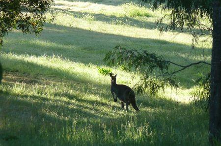 kangourou_nature_2