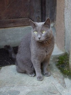 chat_gris