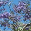 12mai2008 - flamboyant bleu (Jacaranda mimosifolia) - FES