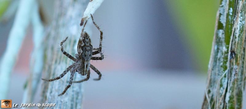 Araignée-Pisaura mirabilis 2