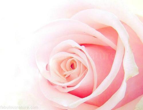 Rose-076