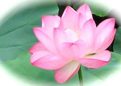 Fleur de lotus du Japon