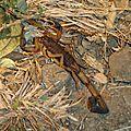 Le scorpion: une étreinte fatale