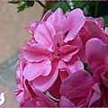 geranium balconniere 2