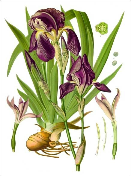 Iris - Köhler–s_Medizinal-Pflanzen-211