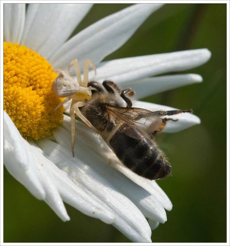 plaine thomise marguerite abeille 130414 3