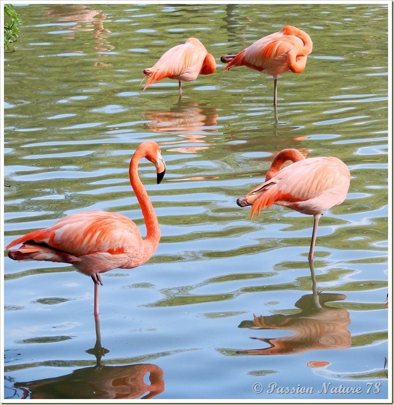 Les flamants roses (11)