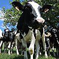 Embrassac, vaches sous arbre 4 (15)
