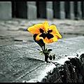 fleur_de_pave