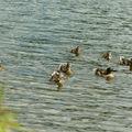 Canards souchet(jugon les lacs cotes d'armor)