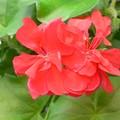 Fleurs de géranium tombant