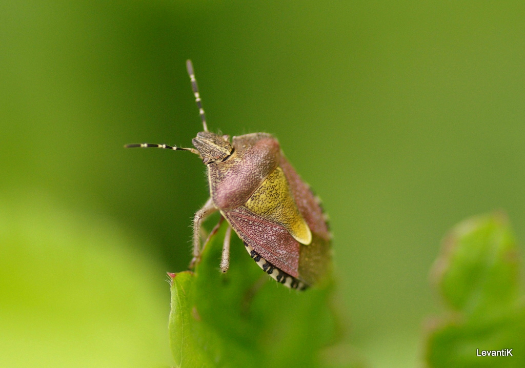 Punaise des baies - Dolycoris baccarum