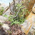 MAdagascar 2010 2701 oephobe-aloe (mer)