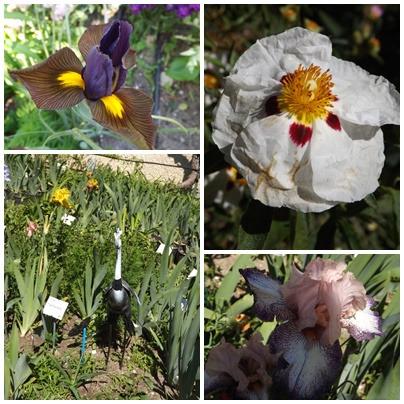 Iris du B 1 (10)