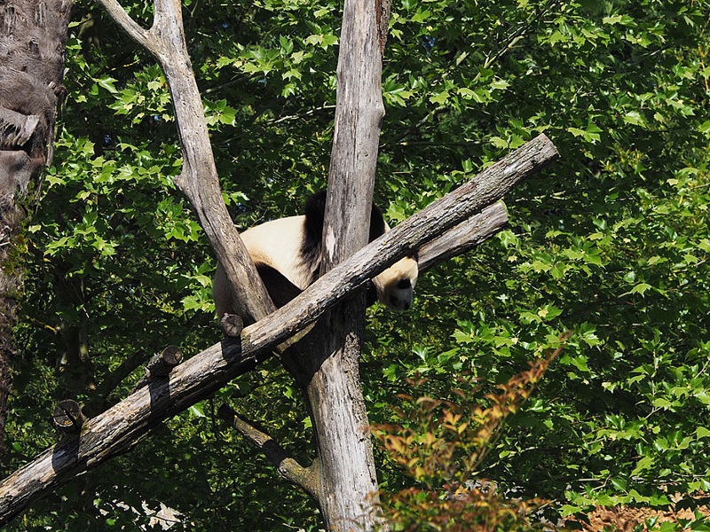 zoo-beauval-animaux-panda-16