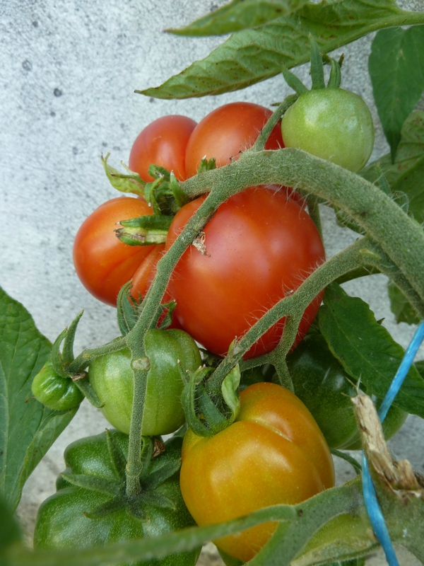 01-tomates abri (2)