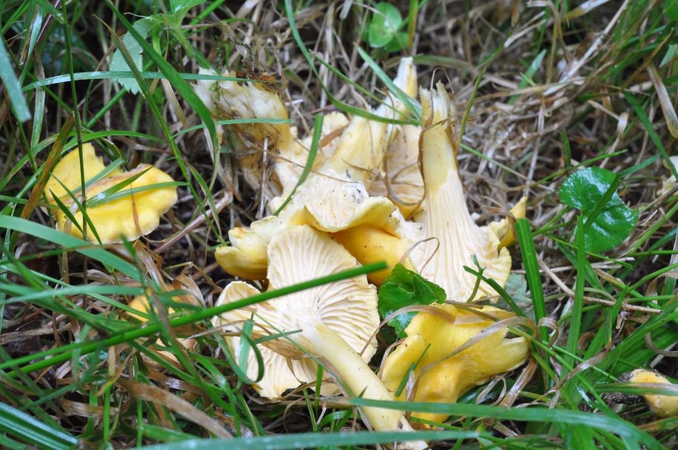 Cantharellus amethysteus (4)