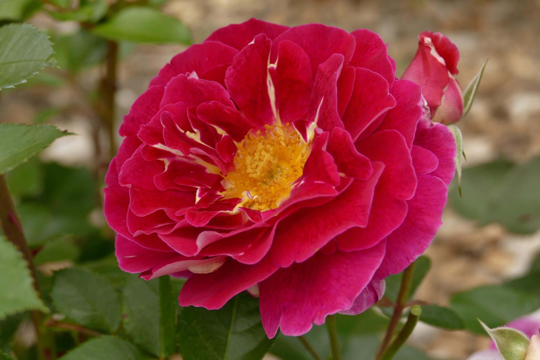 La rose Abbatiale de Pontigny