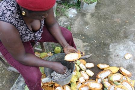 cacao, opération d'écabossage(c)rubenetienne_0764