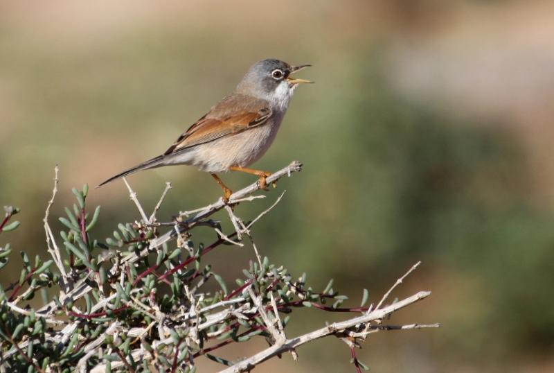 Sylvia conspicillata mâle_Oued Aoreora_Maroc 2011_XRu
