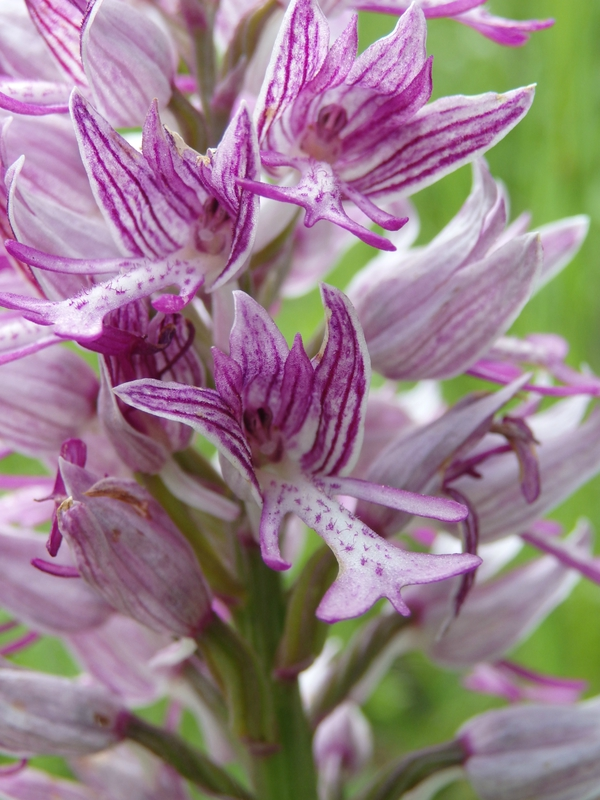 orchis militaire anomalie (2)