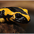 Salamandre tachetée : salamandra salamandra