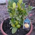 2008 11 03 Mon citronnier en pot sous serre