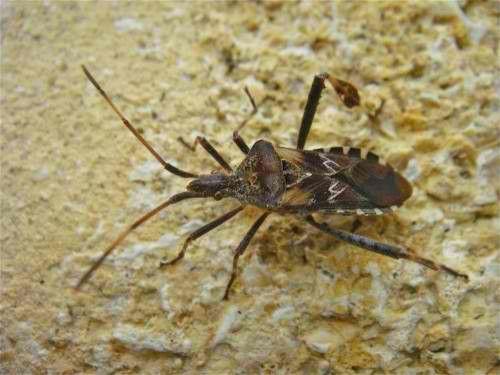Attention punaise us vivre grandeur nature - Insecte de bois maison ...