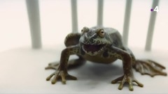 la grenouille Solitract