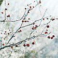 branche-givrée-pomme15-02