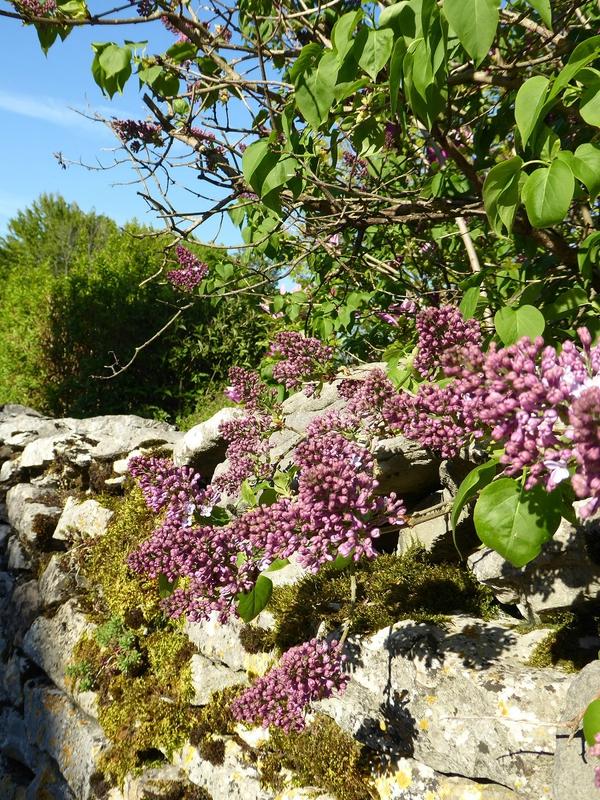 Lilas et vieux mur en pierres