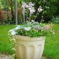 Des nouvelles du hosta en pot: l'arrivée des fleurs !
