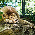 lion blanc beauval3