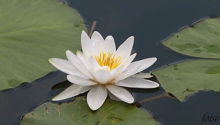 fleurs émergentes blanches