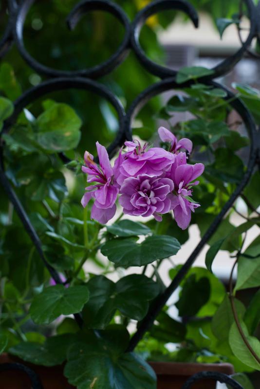 geranium mauve - 1