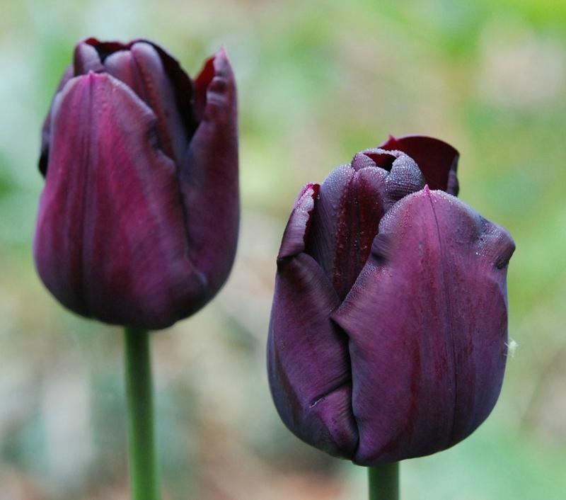 Tulipa 'Paul Sherer''
