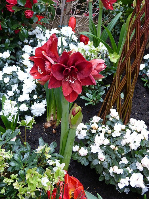 amaryllis au village royal