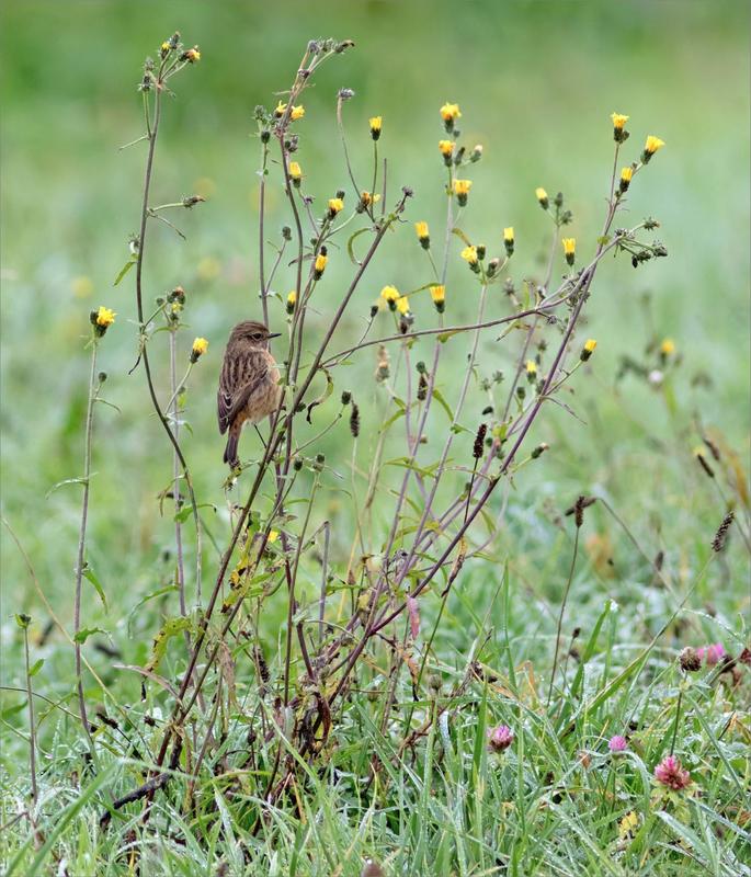 Niort oiseau tarier patre 3 161220