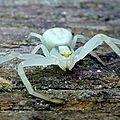 araignée crabe en blanc